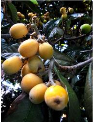 Mispero Tree fruit in yellow.JPG