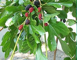 Mulberry trees image.JPG