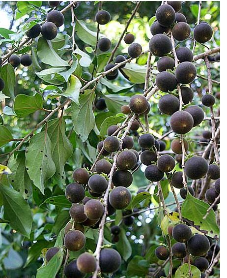 Nispero fruit trees.JPG