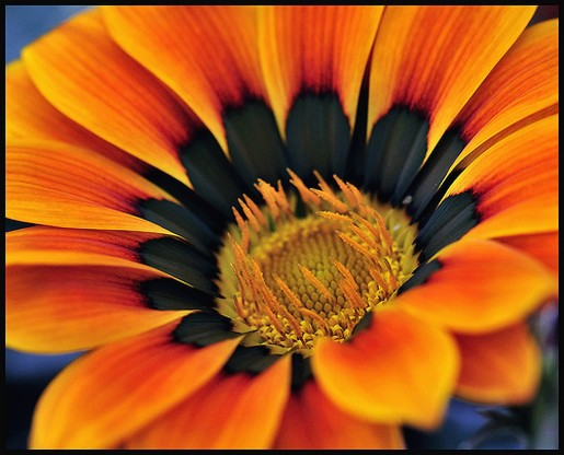 orange daisy with black center.jpg