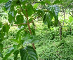 Noni fruit trees.JPG