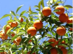 Orange fruit trees in the strong sun.JPG