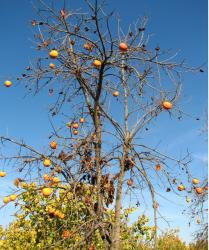 orange fruits tree.JPG