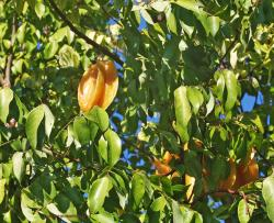 Orange Star Fruit Tree.JPG