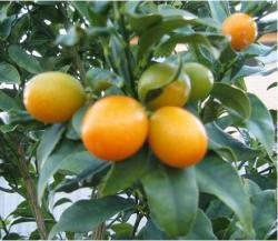orchard tree_fruit tree nursery.JPG