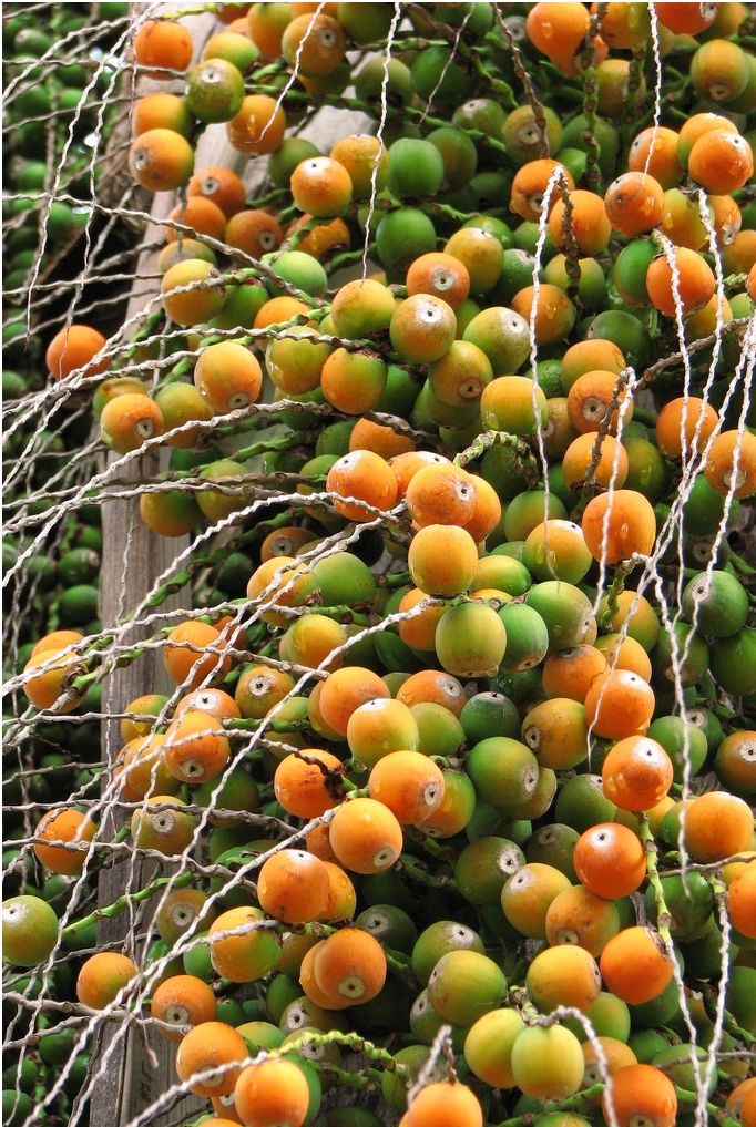 Palm Tree Fruit in orange and green fruits.JPG