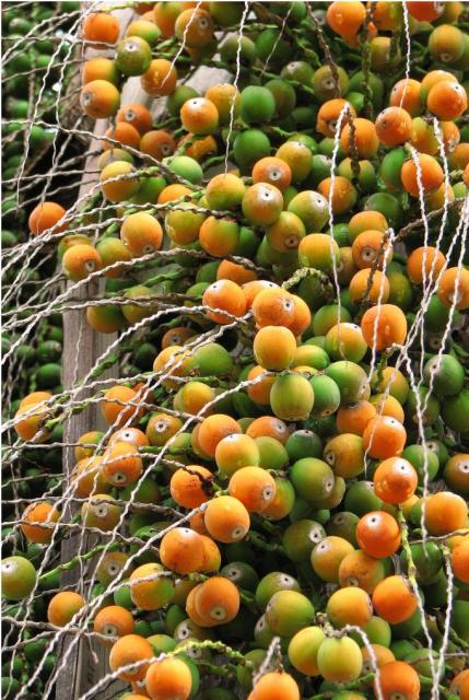 Palm Tree Fruit Are Berries