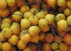 Palm tree fruit in yellow.JPG
