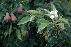 Pear tree with full of fruits and white flowers.JPG