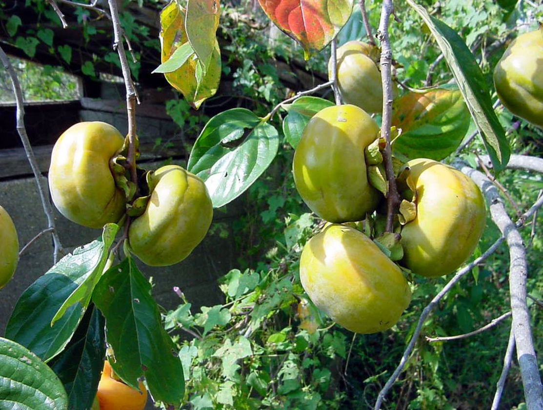 Persimmon fruit pictures.JPG
