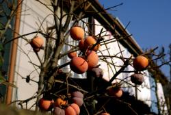 persimmon fruit tree.JPG