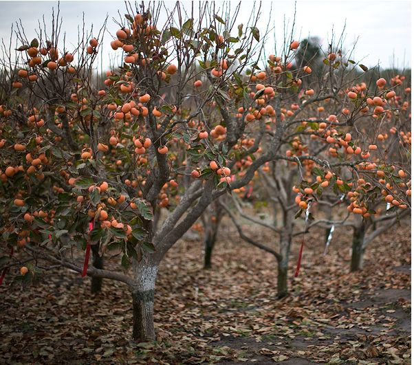 persimmon fruit tree picture.JPG