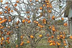 persimmon fruit trees.JPG