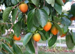 Persimmon trees pictures.JPG