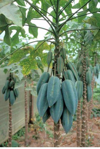 photo of fruit tree babaco jpg
