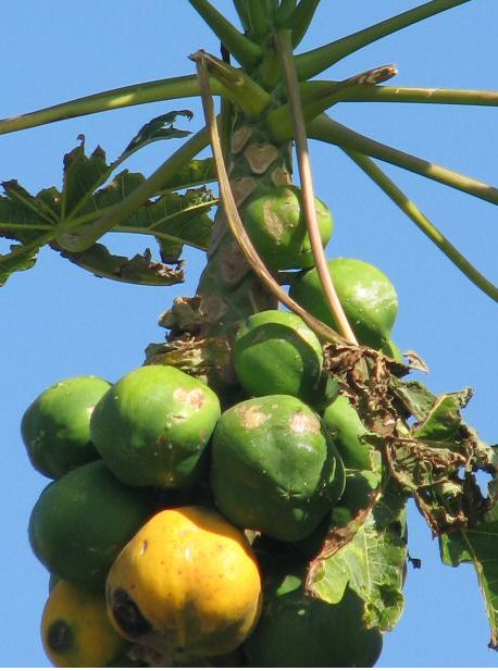 photo of papaya tree in yellow and green.JPG