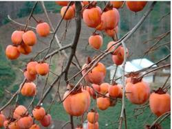 Photo of persimmon fruit tree.JPG