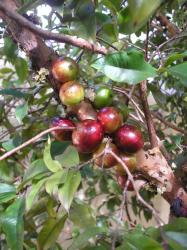 photos of jaboticaba tree with red fruits.JPG