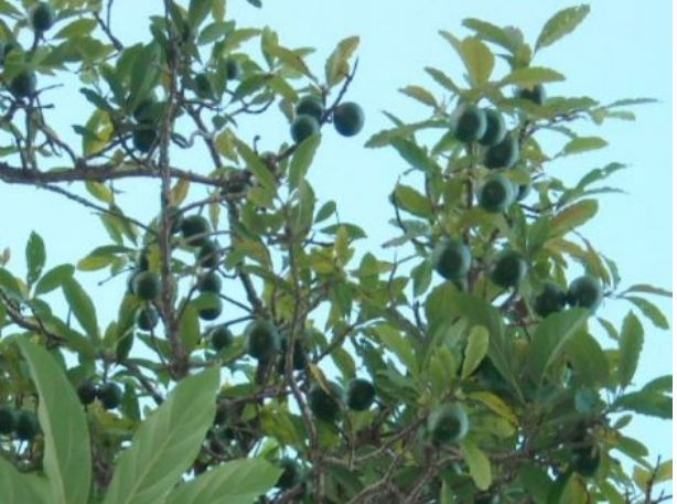 Picture of avocados fruit tree.JPG