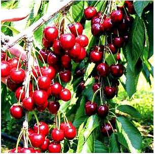 picture of cherry tree with full of fruits.JPG