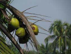 picture of coconut tree tropical.JPG