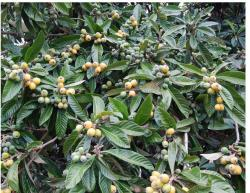 Picture of Eriobotrya japonica fruit trees.JPG