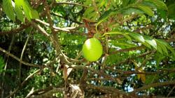 picture of green tropical fruit tree.JPG