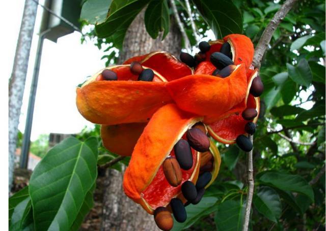 picture of peanut tree jpg hi