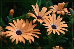 orange daisy flowers with purple center.jpg