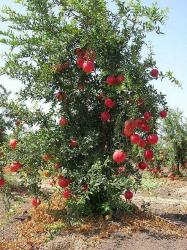 pomegranate fruit tree photo.JPG