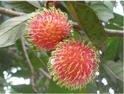 Rambutan fruit tree_red fruit tree.JPG