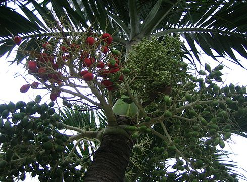 Red ang reen fruits palm tree.JPG