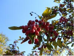 red berry fruit tree.JPG