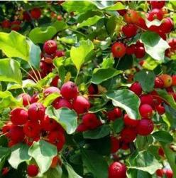 Red chinese fruit trees.JPG