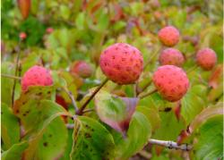 Kousa Dog Wood Red fruit trees photo.JPG
