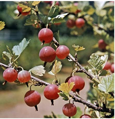 Red Gooseberry tree_Indian Gooseberry fruit tree.JPG