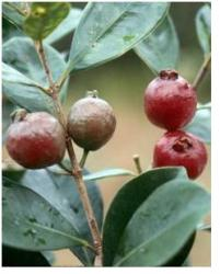 red guava fruit tree.JPG