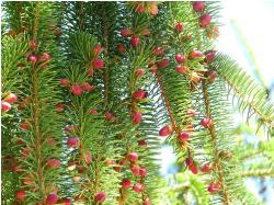 Red Pine Tree Fruit.JPG