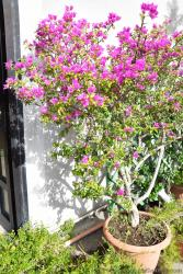 Pink Bougainvillea in a pot found at Sorrento Italy.jpg
