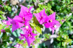 Purple Bougainvillea with white flower inside from Italy.jpg