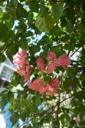 Pink Bougainvillia Flowers from Oasis of the Seas Cruise Ship Central Park.jpg