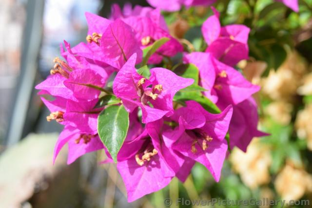 Close up Photo of Bougainvillea of Almalfi Coast.jpg
