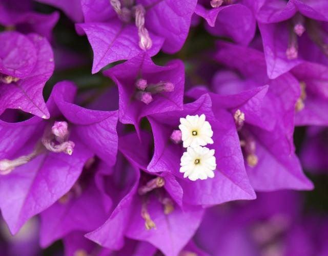 Magenta Bougainvillea with double white flowers inside.JPG