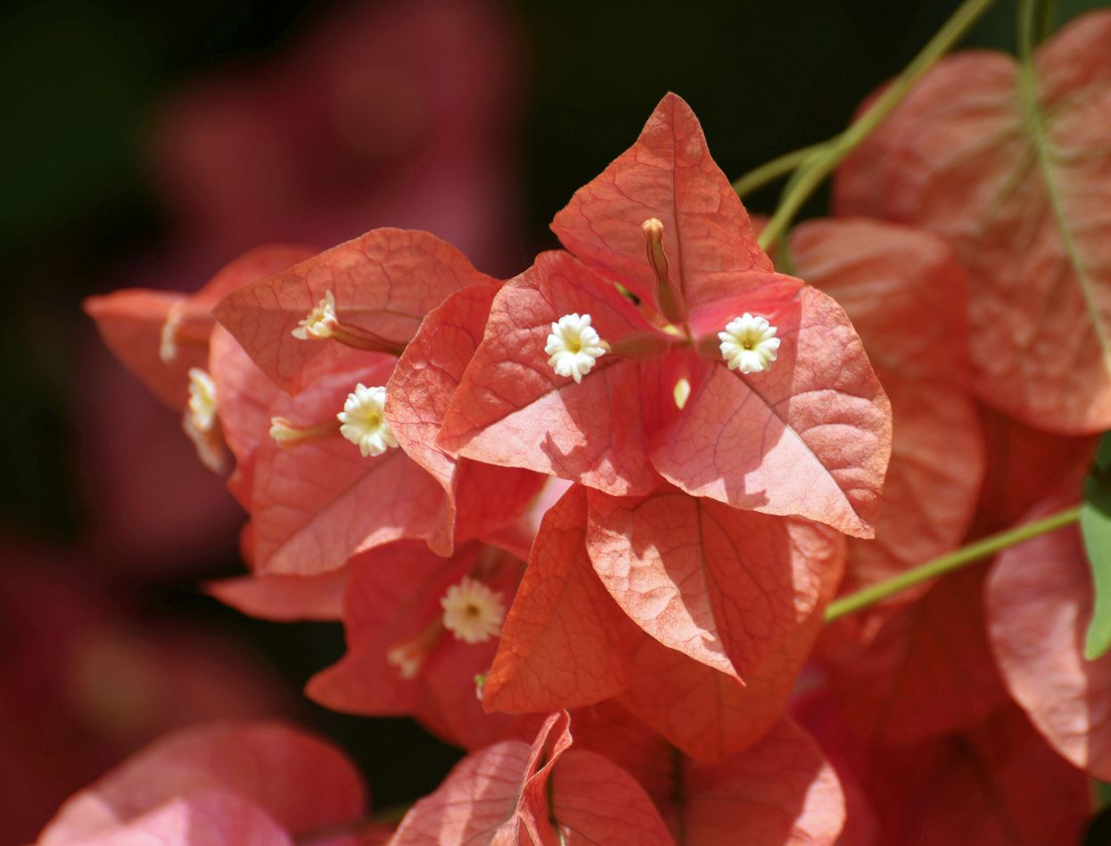 Orange Bougainvillea with Dual White flowers from Italy.JPG