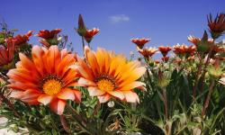 orange daisy flowers field.jpg