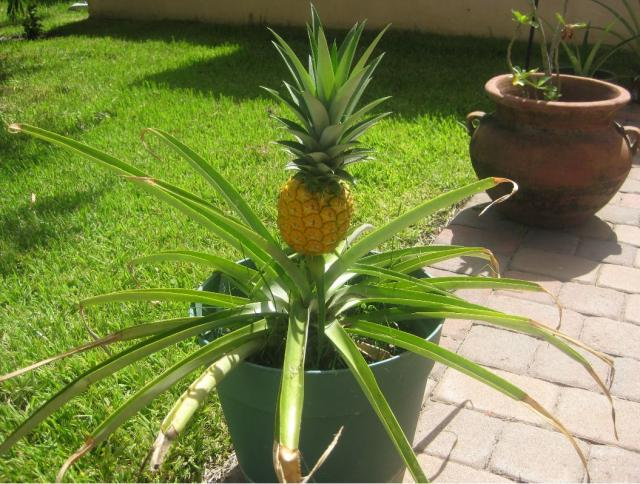 Ripe pineapple fruit tree picture.JPG (1 comment) Hi-Res ...