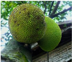 Round jackfruit tree.JPG