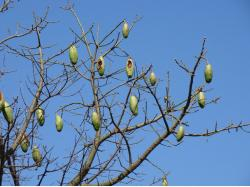 Silk-floss-tree fruits (Ceiba speciosa) Brazilian tree.JPG