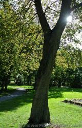 English Oak tree at Halifax Public Gardens.jpg