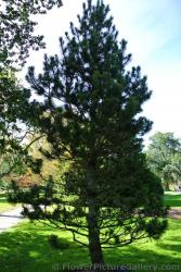 Bosnian Pine at Halifax Public Gardens.jpg